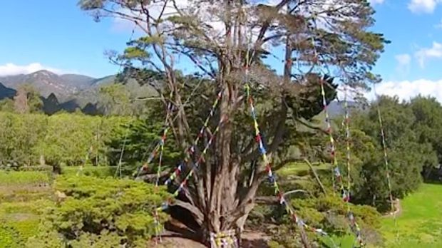 Monterey-cypress-tree-with-prayer-flags-full-Lotusland-FB-video.jpg
